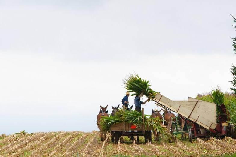амиши работают в поле