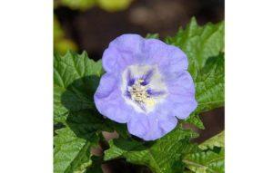 растение никандра или shoo fly