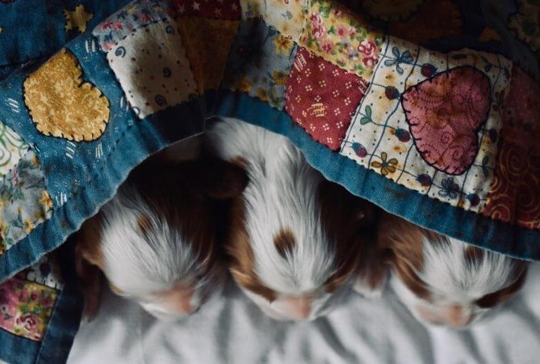 щеночки под лоскутным одеялом